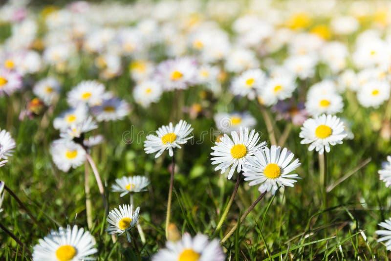 Stokrotki kwitną na łące obraz stock