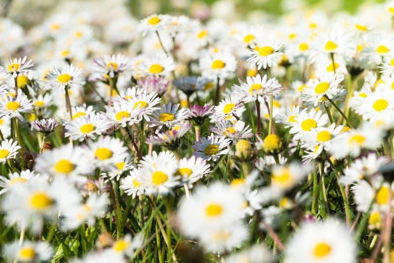 Stokrotki kwitną na łące fotografia stock