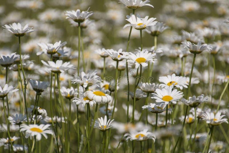 stokrotki odpowiadają kwiaty skupiają się przód folującej grupy zdjęcie royalty free