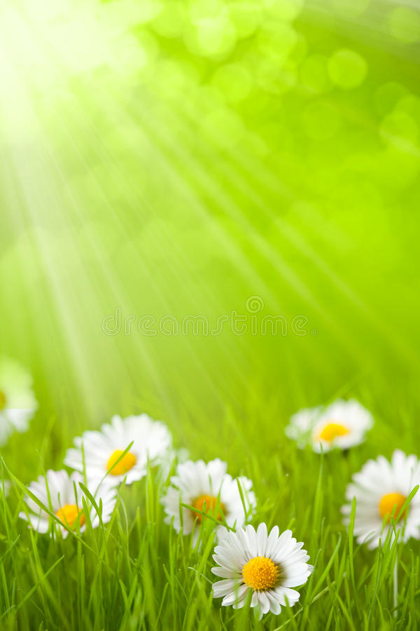 stokrotki pola trawy wiosna fotografia stock