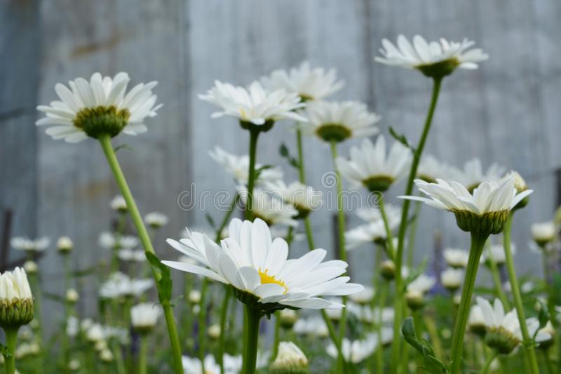 Stokrotki w lato ogródzie Piękni kwiaty z białymi płatkami fotografia stock