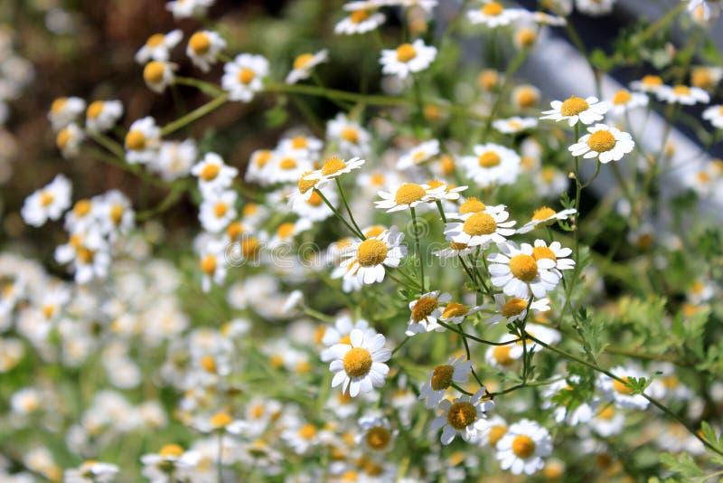 Stokrotki w polu blisko g?r kwiaty ??k? obrazy royalty free