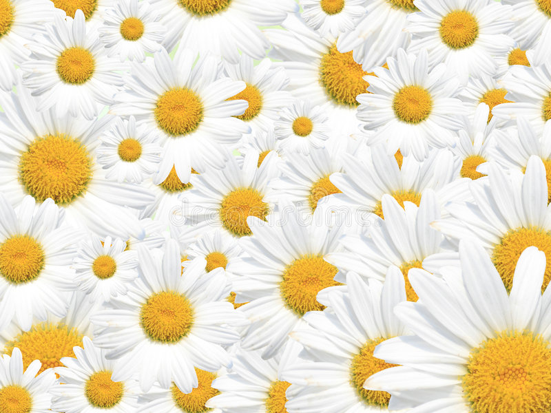 Stokrotki Wiosna Tło Sezonowy Lato, lub zdjęcie stock