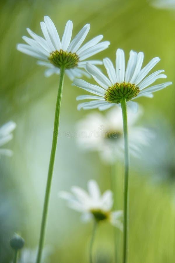 Stokrotki wiosny biały dziki kwiat zdjęcia stock