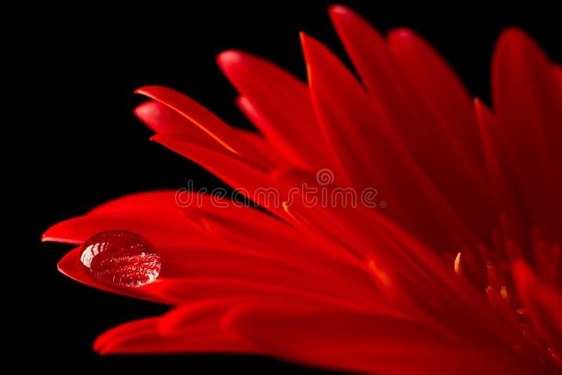 stokrotki woda kropelkowa makro- czerwona fotografia stock