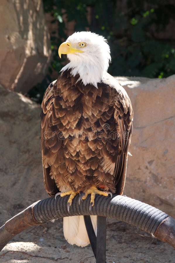 Stolt amerikan Eagle royaltyfria bilder