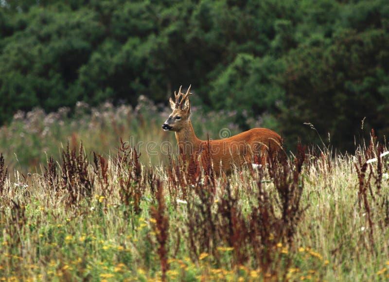 stolt fiskrom för hjortar arkivfoto