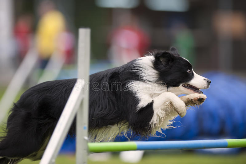 Stolt hund som hoppar över hinder royaltyfria bilder
