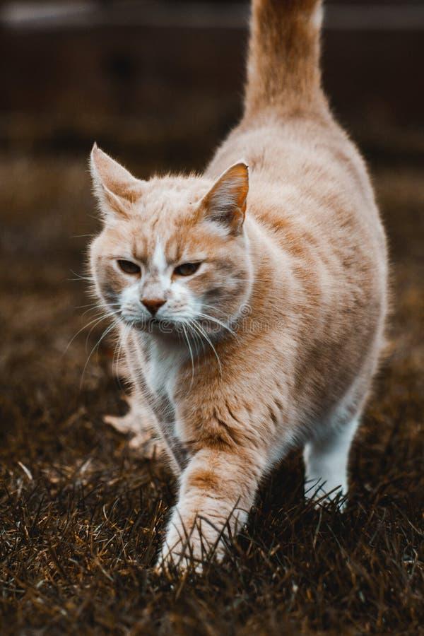 Stolt katt på en beskickning som gör det omöjligt royaltyfri fotografi
