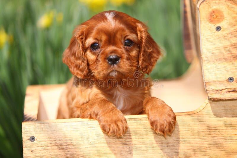 Stolt konung Charles Spaniel Puppy i trävagn arkivbild
