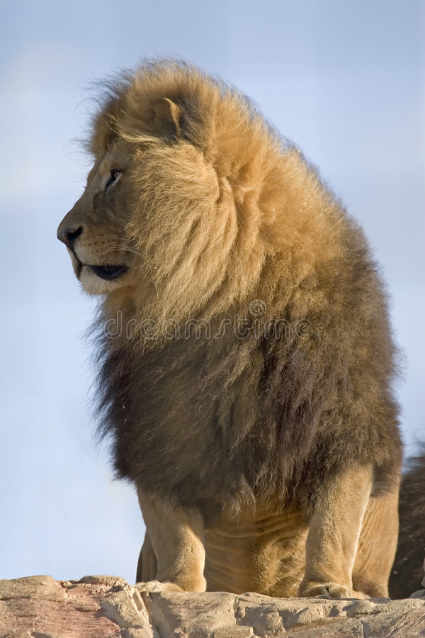 stolt lion royaltyfri foto