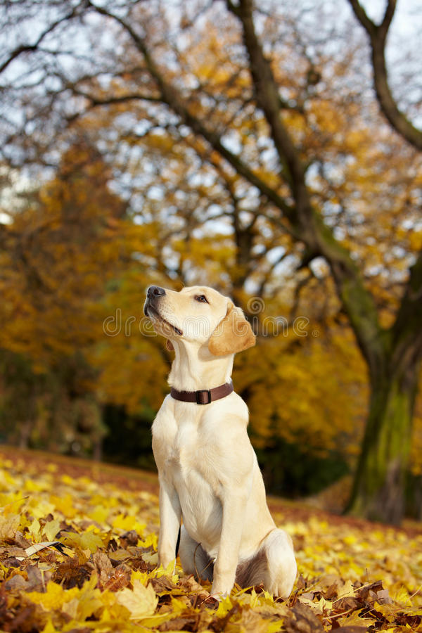 stolt retriever för labrador park royaltyfria foton