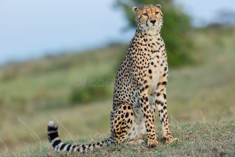 Stolt seende gepard, Masai Mara, Kenya royaltyfri fotografi