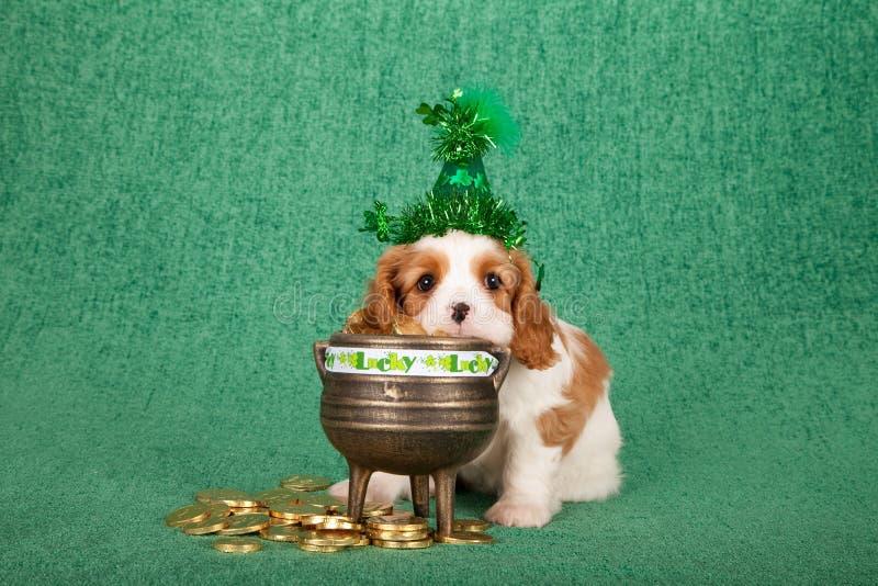 Stolt valp för konung Charles Spaniel med det hängande huvudet för grön St Patrick hatt i krukan av guld- mynt på grön bakgrund royaltyfria bilder