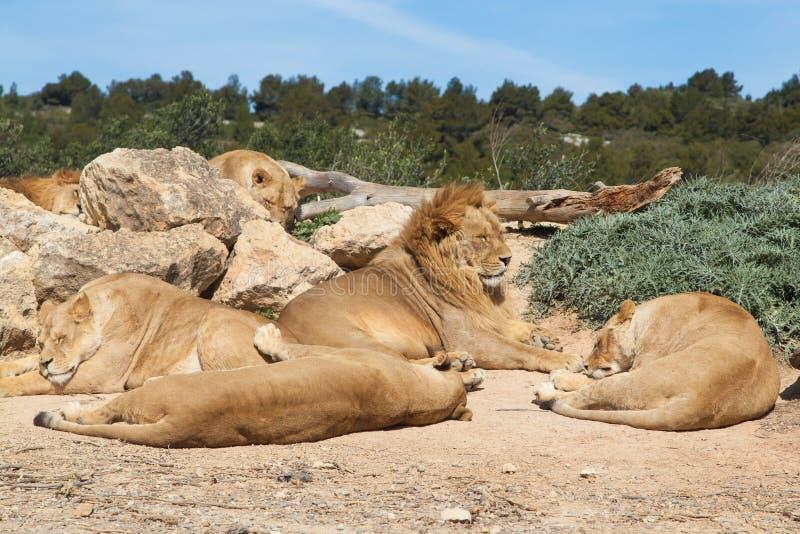 Stolthet av lions arkivbilder