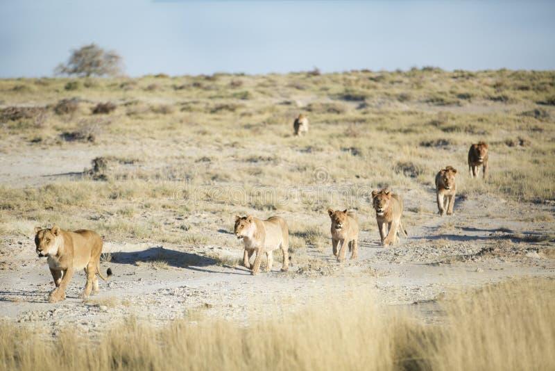 Stolthet av lions arkivfoto