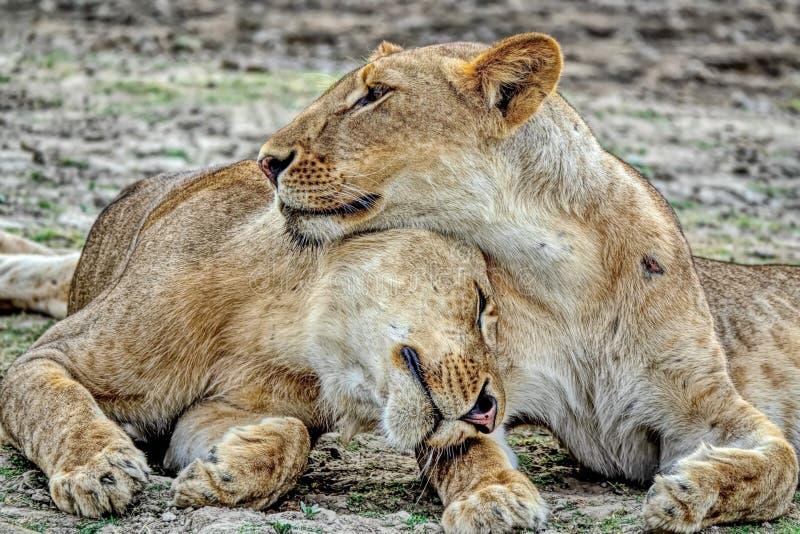 Stolthet-familj packe av lejon Flock med lejon vilar på den afrikanska lejonlaten leo panthera Manliga lejon har en stor man royaltyfria bilder