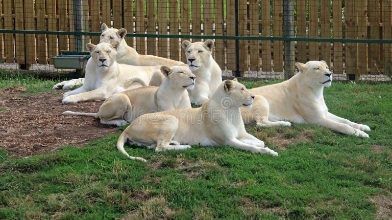 Stolz der weißen Löwen stockfotografie