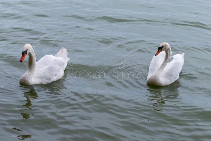 Stolze Höckerschwäne mit den orange Schnäbeln schwimmen schnell über dem Teich lizenzfreie stockfotos