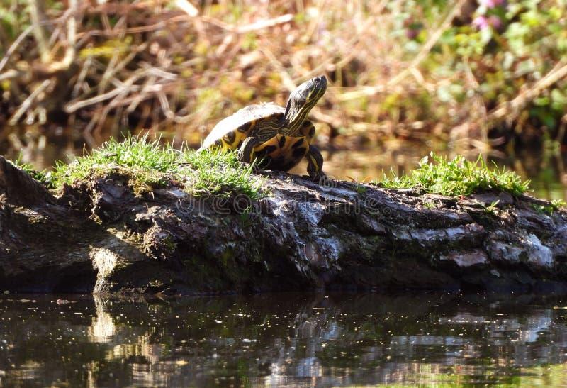 Stolzer Bewohner von einem Teich lizenzfreies stockbild