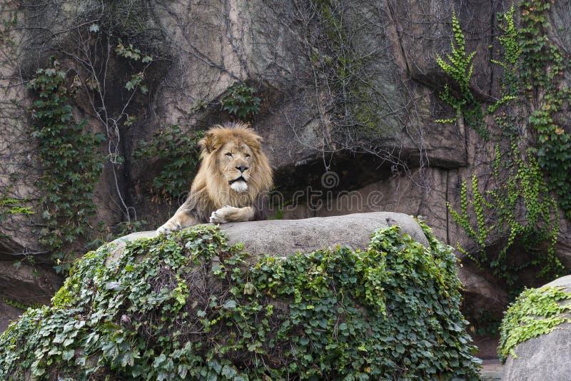 Stolzer männlicher Löwe, der auf einem hohen belaubten Flussstein liegt lizenzfreie stockfotografie