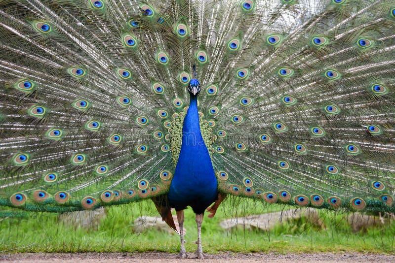 Stolzer männlicher Pfau, indischer Peafowl, der umfangreiches Gefieder anzeigt lizenzfreie stockfotografie