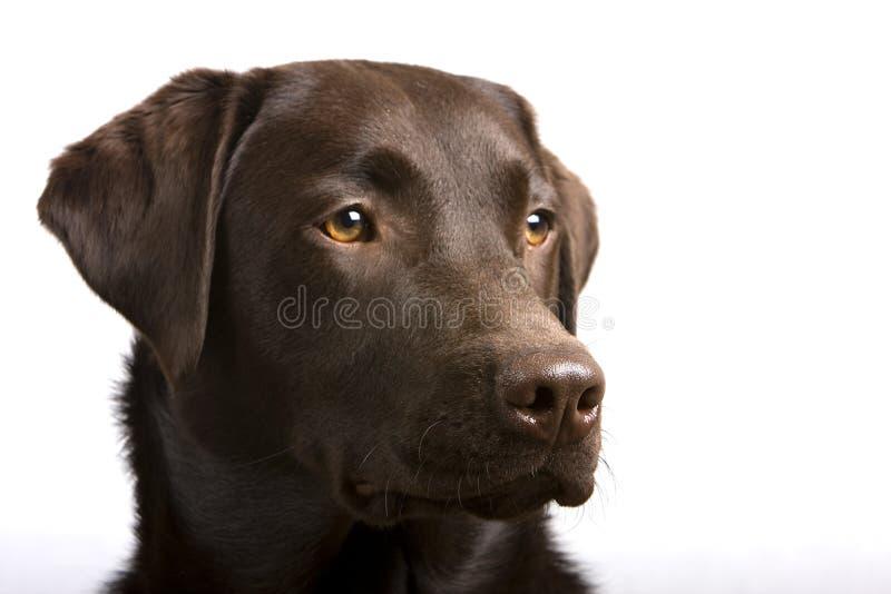 Stolzer Schokoladen-Labrador-Kopf lizenzfreie stockfotografie