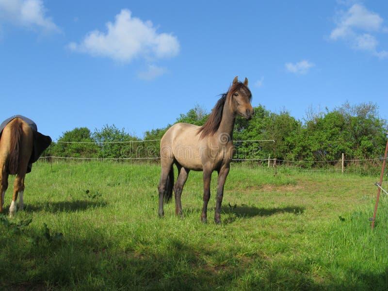 Stolzes glückliches Pferd lizenzfreie stockfotos
