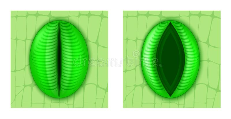 Stoma. Closing and Opening of stomatal complex. Stoma is a pore, found in the epidermis of leaves, stems, and other organs, for gas exchange in plants. Closing royalty free illustration
