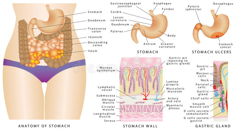 Stomach anatomy stock vector. Illustration of ulcer, anatomical ...