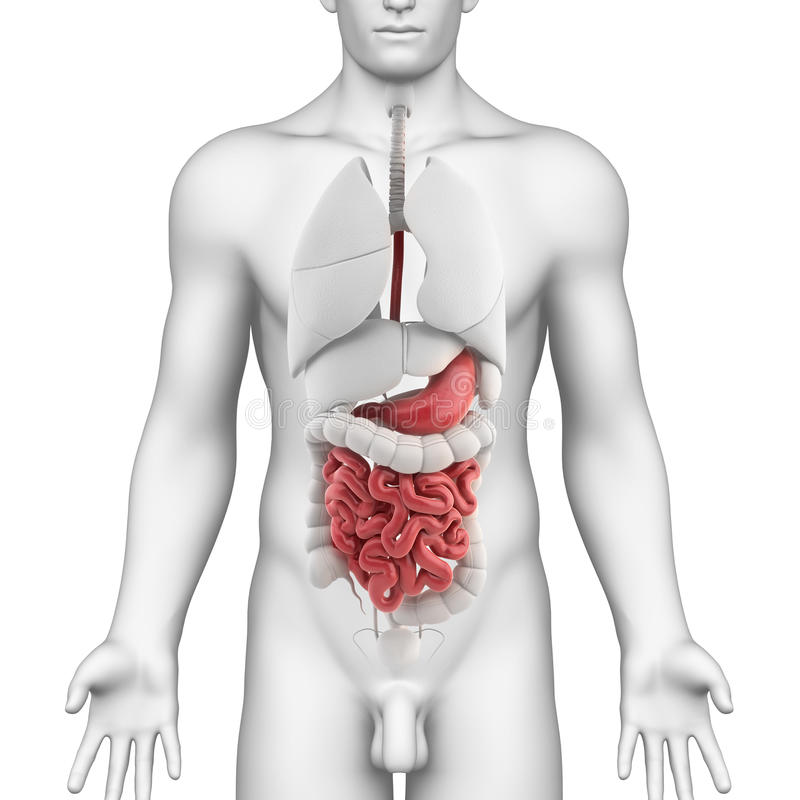 Stomach Anatomy Of Male With Full Body Stock Illustration