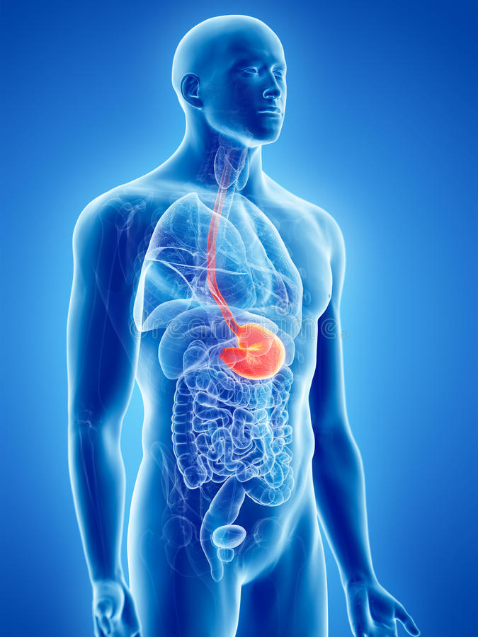 The stomach. 3d rendered, medically accurate illustration of the stomach stock illustration