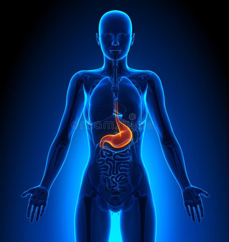 Stomach - Female Organs - Human Anatomy Stock Illustration ...