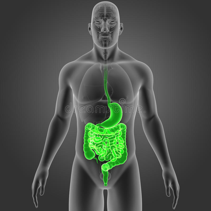 Stomach And Intestine With Organs Anterior View Stock Illustration ...