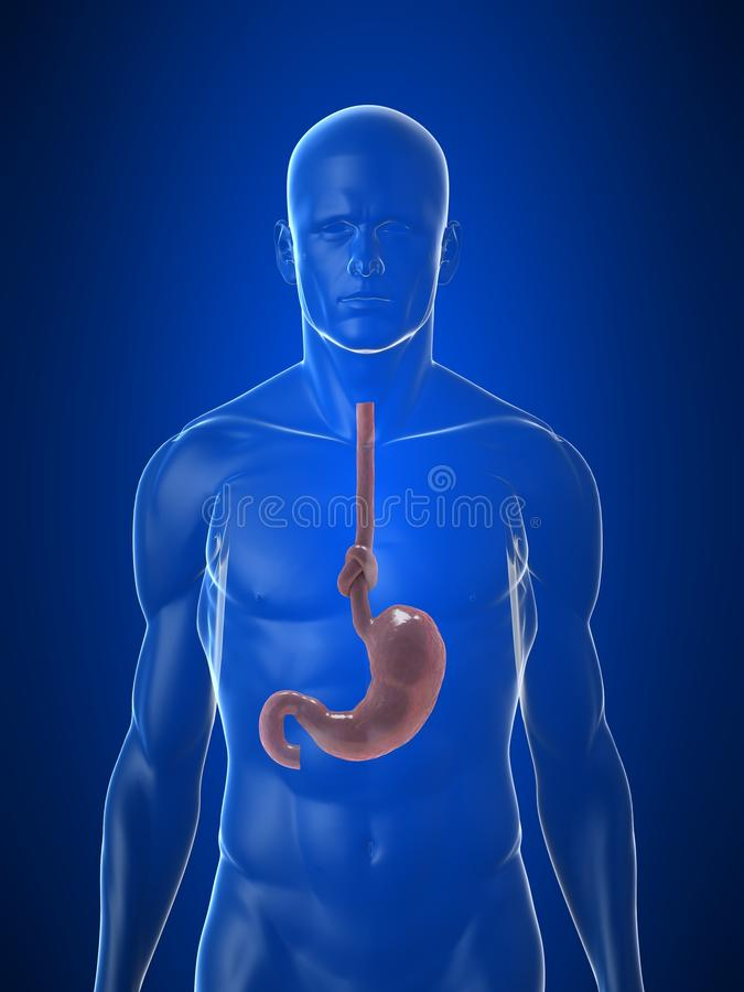 Stomach Knot Stock Images