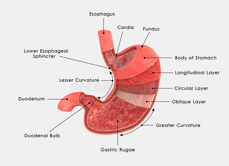 Stomach Layers Labelled Stock Illustration Illustration Of Blue