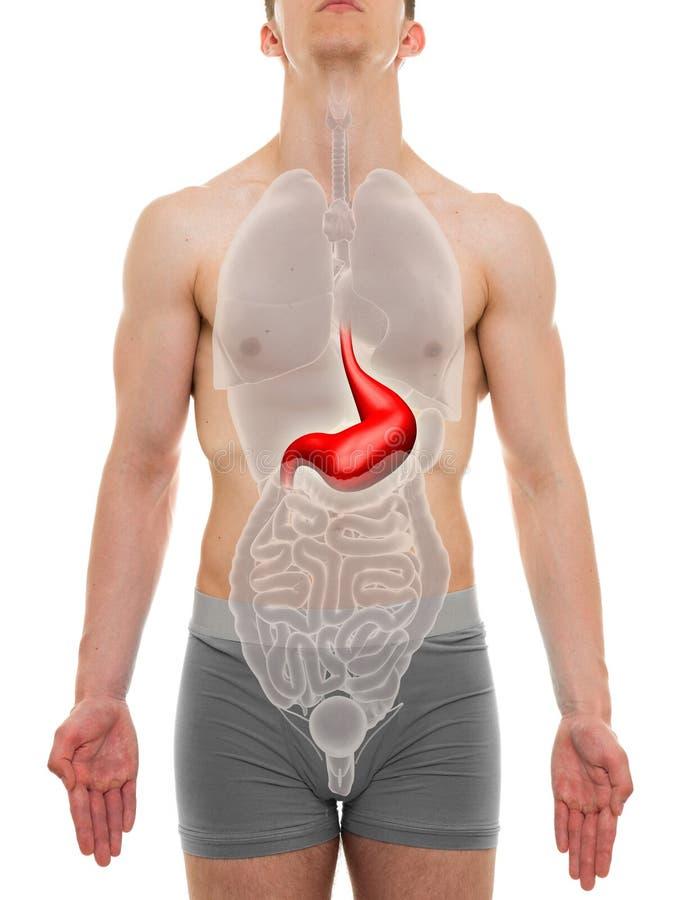 Stomach Male - Internal Organs Anatomy - 3D Illustration Stock Image ...