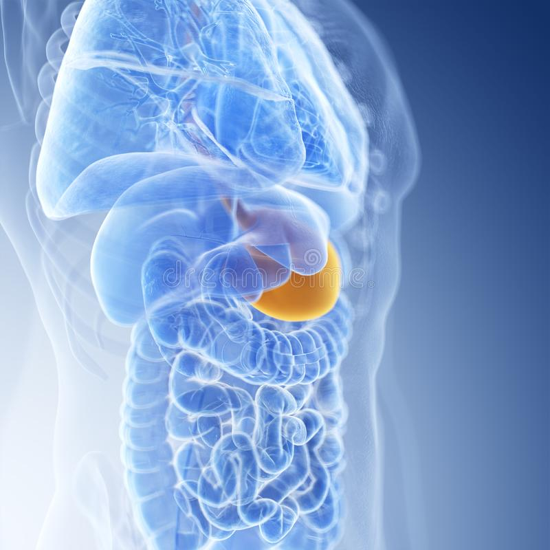 The stomach. Medically accurate illustration of the stomach stock illustration