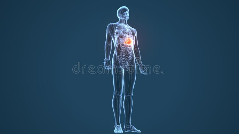 3d illustration of human body stomach anatomy. The stomach is a muscular, hollow organ in the gastrointestinal tract of humans and many other animals, including vector illustration