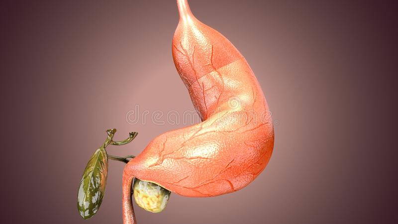 3d illustration of human body stomach anatomy. The stomach is a muscular, hollow organ in the gastrointestinal tract of humans and many other animals, including stock illustration
