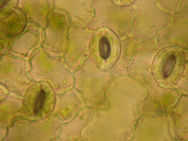 stomata листьев стоковое фото rf