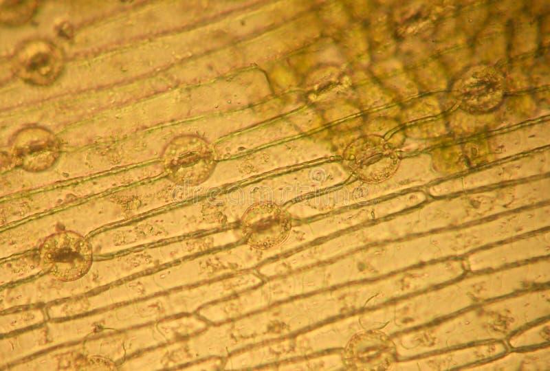 Stomata - optisk mikroskopi arkivfoto