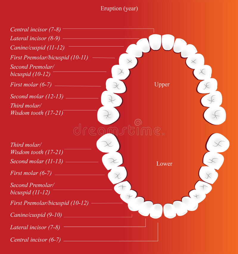 stomatologiczna dorosła mapa ilustracja wektor