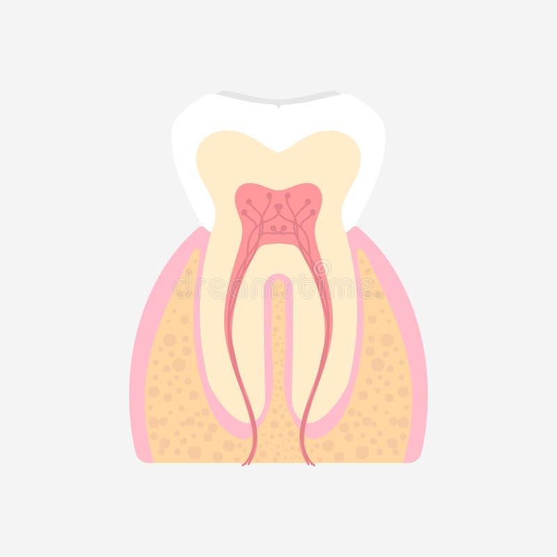 Stomatologiczni zęby, wewnętrznych organów zębu anatomii części ciałej układ nerwowy ilustracja wektor