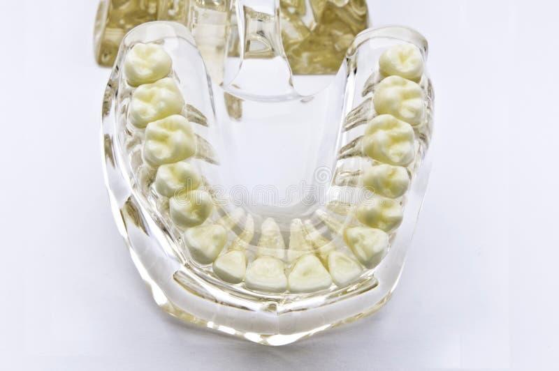 Download Stomatologiczny model obraz stock. Obraz złożonej z zdrowy - 13326025