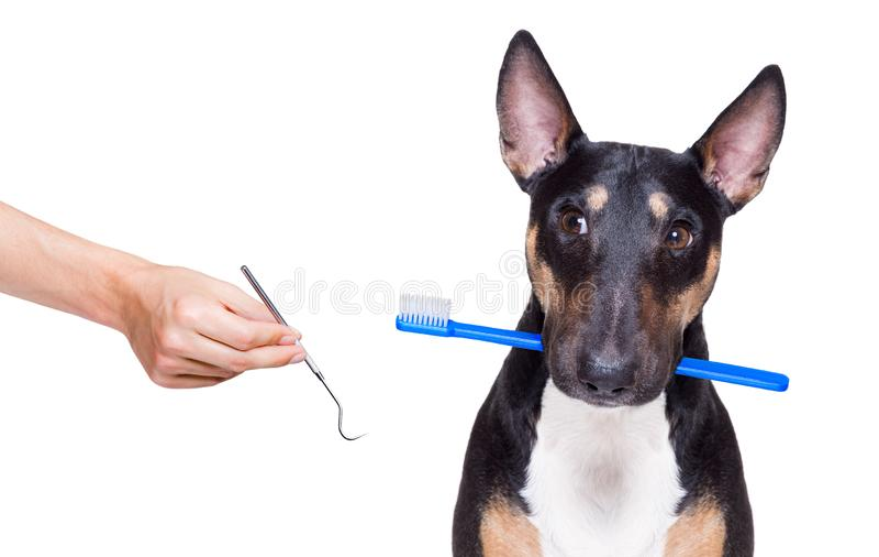 Stomatologiczny toothbrush pies fotografia stock
