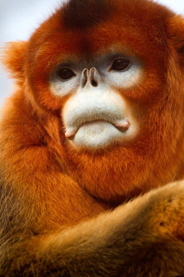 Stompneuzige aap stock foto