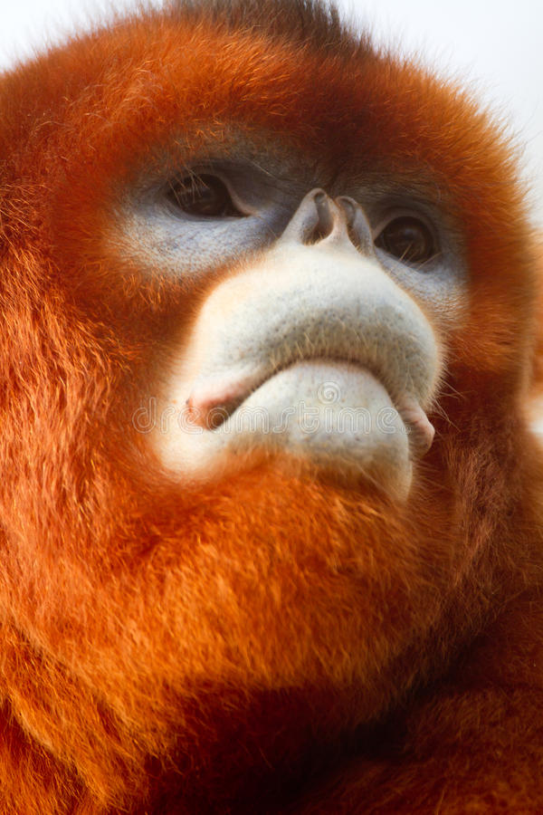 Stompneuzige aap stock afbeeldingen