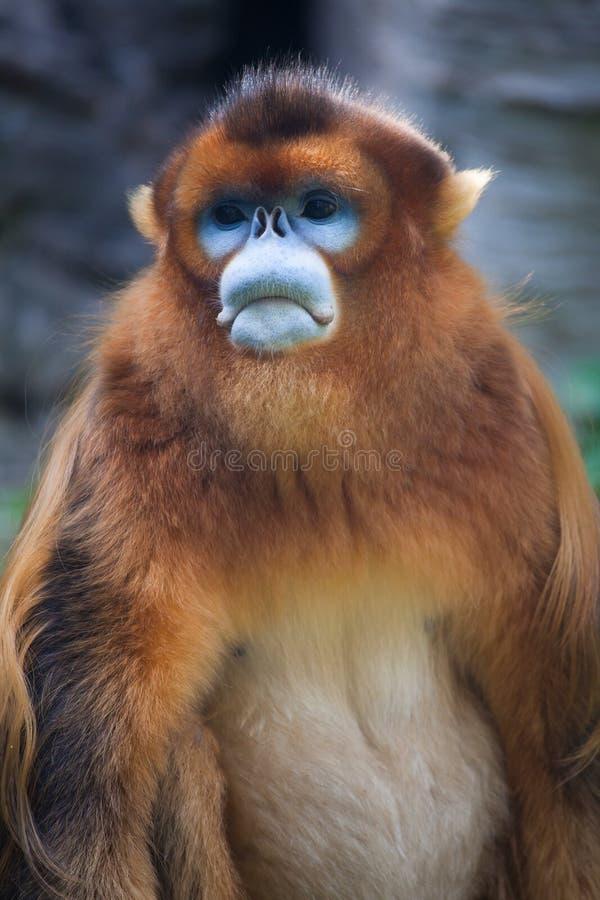 Stompneuzige aap stock fotografie