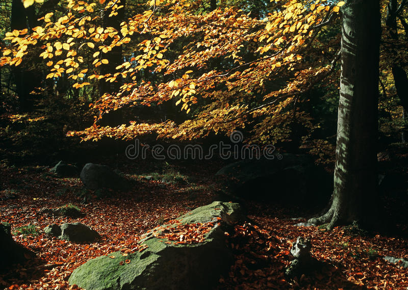 Stone and autumn beech